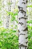 Summer in birch forest Royalty Free Stock Photography