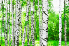 Summer in birch forest. Birch forest in sunlight in the morning stock images