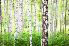 Summer in birch forest. Birch forest in sunlight in the morning stock image