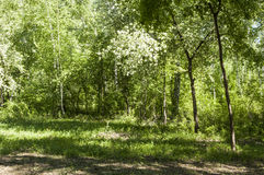 Summer birch forest Stock Images