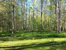 Summer in a birch forest. Sunny day in a forest. Picture was made in Saint Petersburg Royalty Free Stock Photos