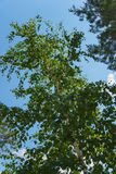 Summer birch Royalty Free Stock Photography