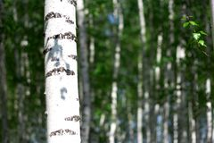 Summer birch grove Royalty Free Stock Images