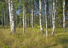 Summer birch grove Royalty Free Stock Image