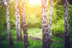 Birch grove at dawn Royalty Free Stock Images