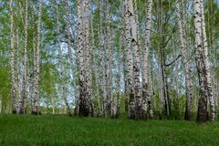 Summer in a birch grove stock images