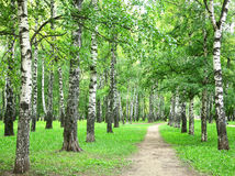 Summer birch grove in the evening Stock Image