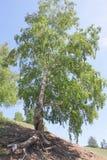 Summer birch Stock Images