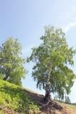 Summer birch Royalty Free Stock Photo