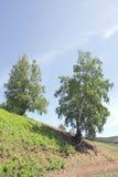 Summer birch Stock Photo