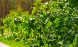 Summer birch leaves Royalty Free Stock Image