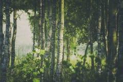 Summer Birch Tree Woodland at Bright Sunny Day. Silver borch tree trunks in woodland at bright summer day royalty free stock photo
