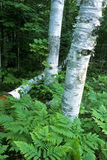 Summer birch trees Stock Photos