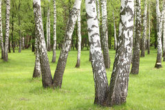 Summer birch trees in forest, beautiful birch grove, birch-wood Stock Photos