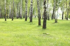 Summer birch trees in forest, beautiful birch grove, birch-wood Stock Image