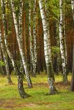 Summer birch wood Stock Photo