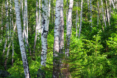 Summer birch woods Stock Images