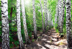 Summer birch woods alley Royalty Free Stock Photo