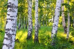 Summer birch woods Royalty Free Stock Photos