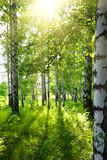 Summer birch woods with sun Stock Photography