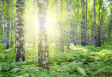 Summer birch woods with sun Royalty Free Stock Photo