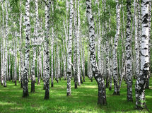 Summer birches Royalty Free Stock Photography