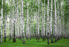 Summer birches trees Stock Image