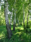 White birches stock photography