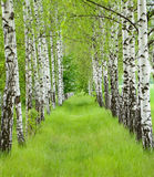 Summer birchwood. A number of birches with a green grass Royalty Free Stock Photo
