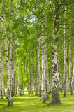 Summer birchwood royalty free stock photos