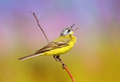 Summer bird is the yellow Wagtail sings while sitting on a Sunny. Meadow Stock Photography