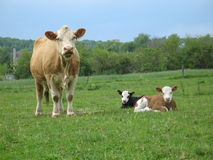 Summer Bliss. Cow with two calf in a field Royalty Free Stock Photos