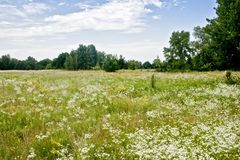 Summer blooming field. In the village Stock Photo