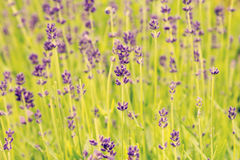Summer blooming lavender background Stock Photography