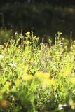 Summer blooming meadow. Yellow flowers of Common Tansy.  stock photo