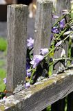 Photo of purple bells on an old fence Royalty Free Stock Photo