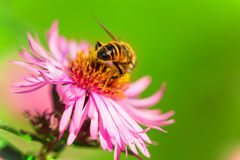 Summer blossom, aster, bee collecting pollen. Royalty Free Stock Photo