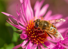 Summer blossom, aster, bee collecting pollen. Stock Photography