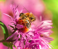 Summer blossom, aster, bee collecting pollen. Royalty Free Stock Photos