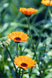 Summer blossoming of calendula (marigold) flowers Royalty Free Stock Photography