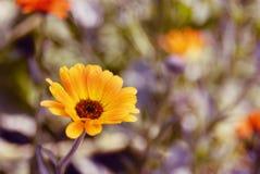 Summer blossoming of calendula (marigold) flowers Stock Photos