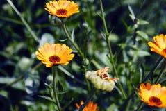 Summer blossoming of calendula (marigold) flowers Royalty Free Stock Photos