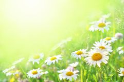Summer blossoming daisies, chamomiles on meadow, shiny floral flower card stock photos