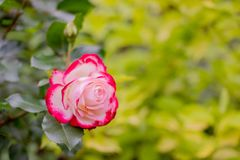 Summer blossoming pink roses on green nature background, selective focus. Copy space.Fresh bud of a blossoming red pink Royalty Free Stock Images