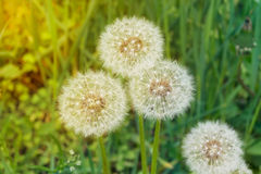 Summer Blowballs. Close-up of Dandelion Blowballs in Field Royalty Free Stock Photos