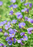 Summer blue flowers in fresh grass on sunny field Stock Photography