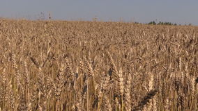 Summer blue sky over field with golden barley stock footage