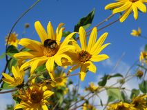 Summer blue sky yellow flowers with a bumblebee royalty free stock photos