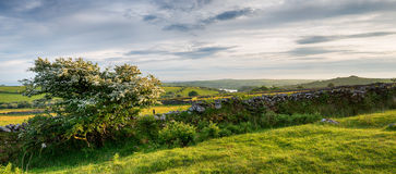 Summer on Bodmin Moor. A Hawthorn tree in bloom on Bodmin Moor in Cornwall with Siblyback lake and Tregarrick Tor in the far distance Stock Photography