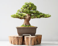 Summer bonsai azalea tree. Summer shohin bonsai azalea tree Stock Photo